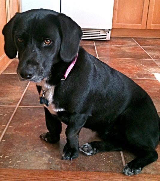 A Bassador- a full grown black lab/basset hound mix! | All ...
