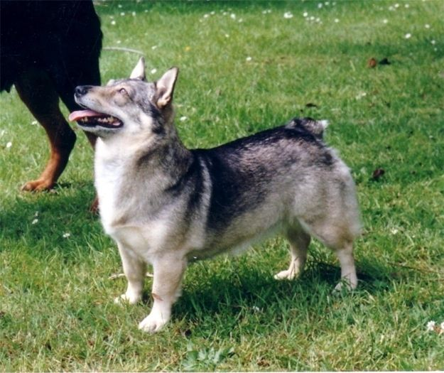 Mixers Mixers Vicking Vs Wolf ~ Images about swedish vallhund on pinterest wolves