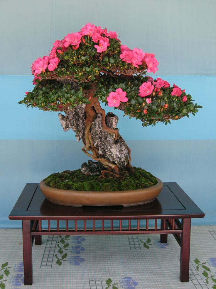 17 Best Images About Bonsai On Pinterest Trees Bonsai