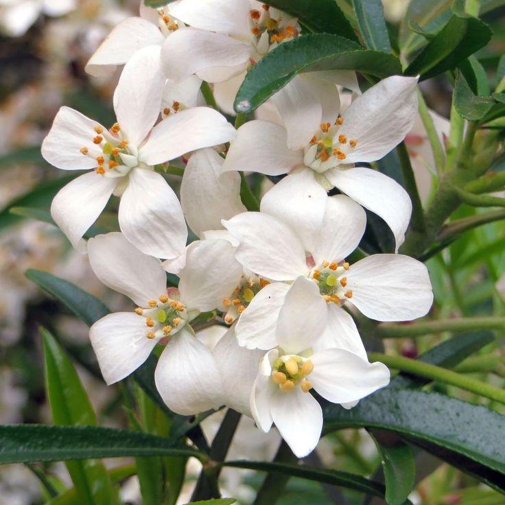 17 best ideas about arbuste persistant on pinterest chelsea flower show arbustes feuillage - Arbuste persistant haie ...