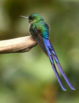 Violet-tailed Staph