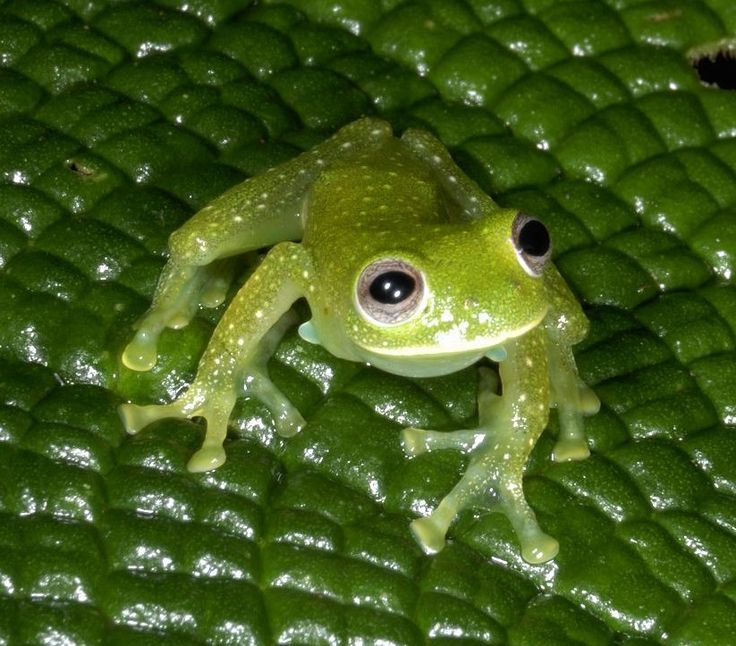 glass frog habitat