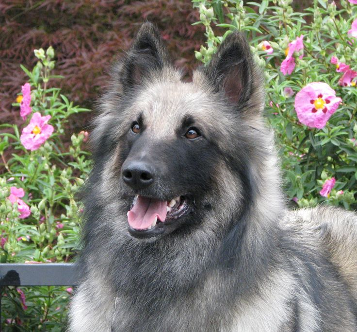 Belgian shepherd - IS THIS A BELGIAN MALNOIS (SP?), SOMETIMES USED AS POLICE/SHERIFF CANINES? ~