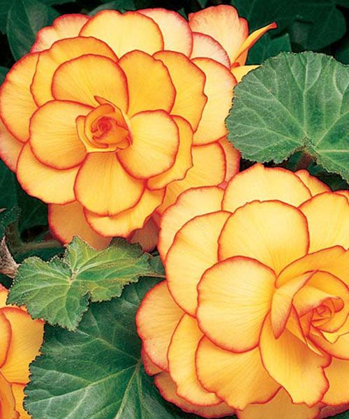 """Begonia 'Picotee Yellow-Red': height: 4-9"""" light: part to full shade blooms in: June - September spacing 3 bulbs per sq foot special: butterflies, hummingbirds, extended blooms"""