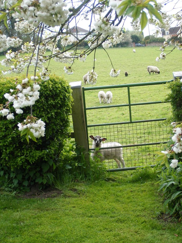View through my old garden gate. HOLD A LAMB .. SPRING 2016