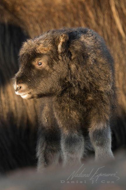 A newborn muskox calf, Alaska (Daniel J.