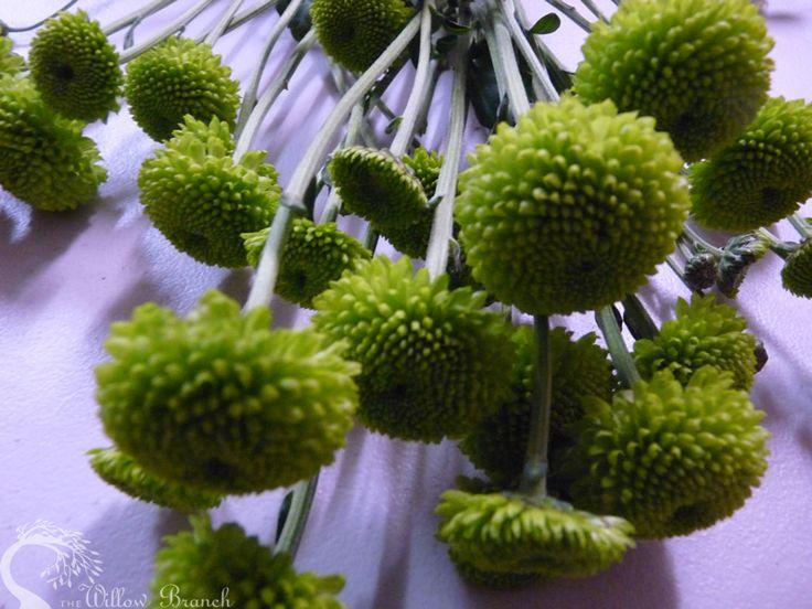 """Kermit"" Button Chrysanthemum  http://www.thewillowbranch.com.au/fun-kermit-studio-shoot-part-3-4/"