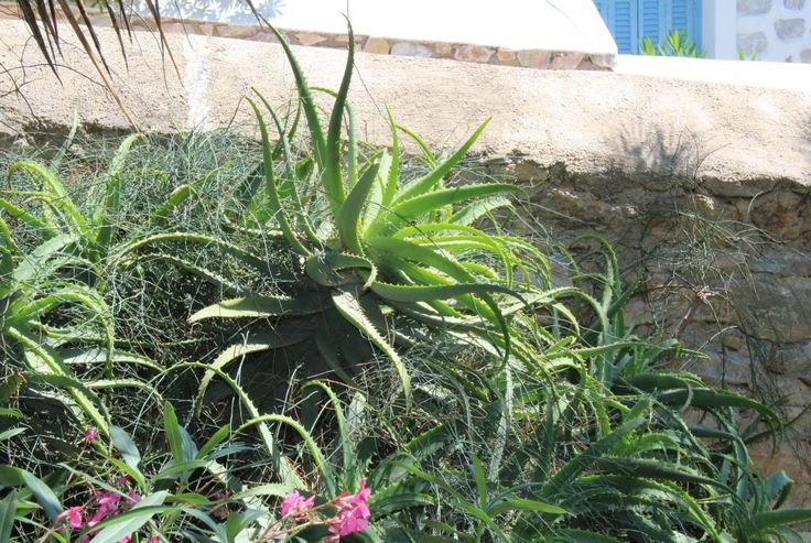 This plant is growing in Azolimnos, Syros, and other places in Greece : aloe vera! Very easy to plant in Greece, even on your balcony! https://en.wikipedia.org/wiki/Aloe_vera