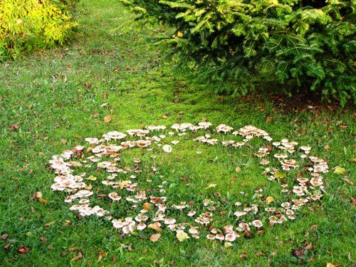 A fairy ring, also known as fairy circle, elf circle, elf ring or pixie ring, is a naturally occurring ring or arc of mushrooms. The rings may grow to over 10 metres (33 ft) in diameter, and they become stable over time as the fungus grows and seeks food underground. Fairy rings occupy a prominent place in European folklore as the location of gateways into elfin kingdoms, or places where elves gather and dance. According to the folklore, a fairy ring appears when a fairy, pixie, or elf…