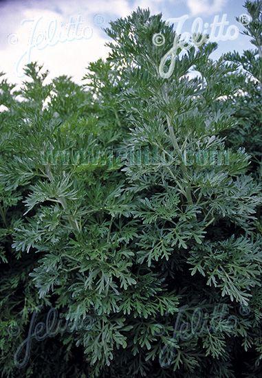 ARTEMISIA absinthium  'Silverado' Portion(en)