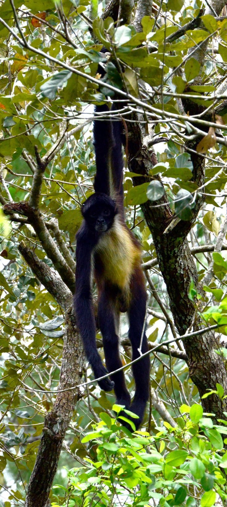 the 25 best el mono araña ideas on pinterest monos arañas mono