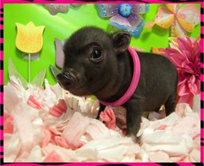 Mini Micro Pigs - Miniature Pigs - Teacup Pigs - Juliana Pigs.                            I will own one someday