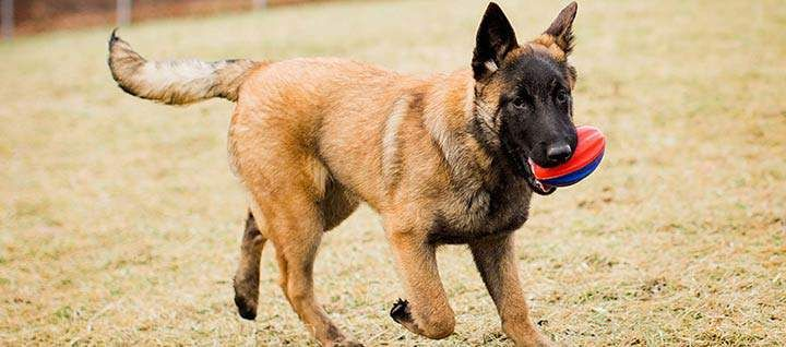 Belgian Malinois Dog Breed