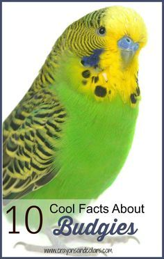 Parakeets, also known as budgies, make great pets. Here are some cool facts you might now know about budgies.    pet birds | pet parakeets | pet budgies | birds for kids | bird facts | bird care