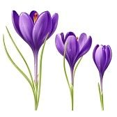 Saffron Crocus Stock Photos Images, Royalty Free Saffron Crocus Images And Pictures