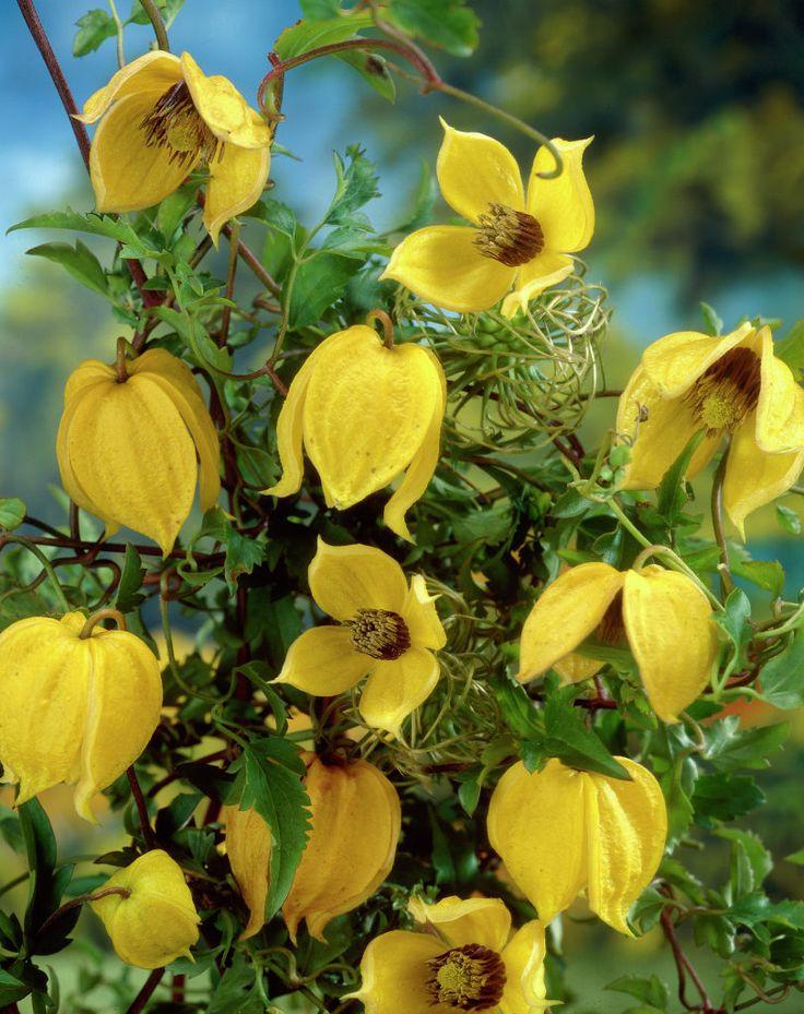 gold waldrebe clematis tangutica mongolische waldrebe pflanzen blumen. Black Bedroom Furniture Sets. Home Design Ideas