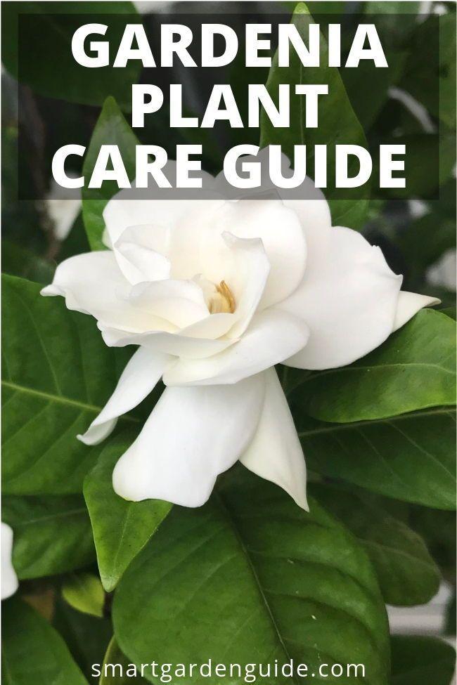 How To Grow Gardenias Indoors Top Care Tips Gardenia Plant