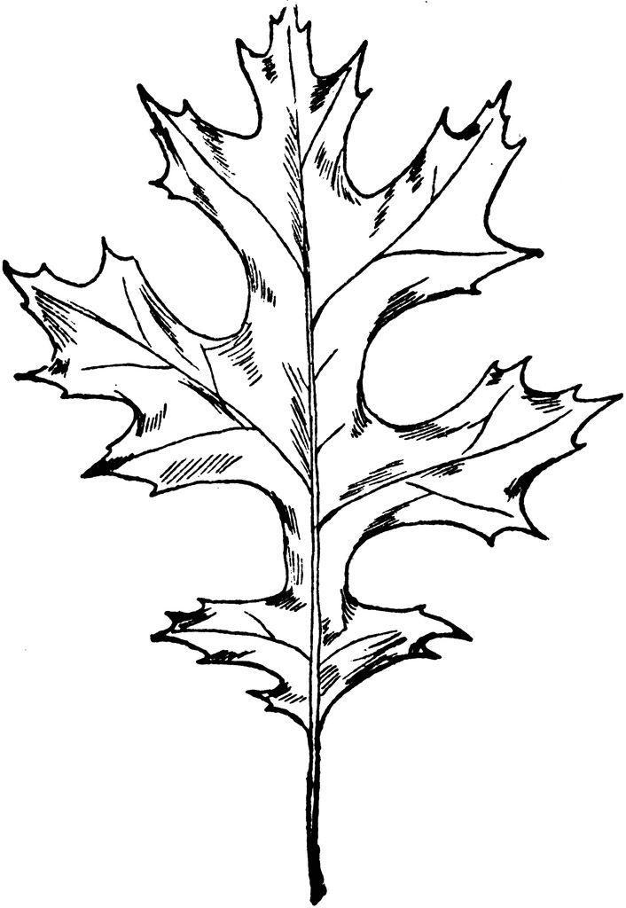 Types Of Oak Leaves