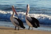 Mollymook Pelicans
