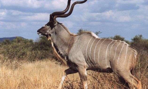 10 Amazing Animals That Start With The Letter K Animals Kudu Omnivorous Animals