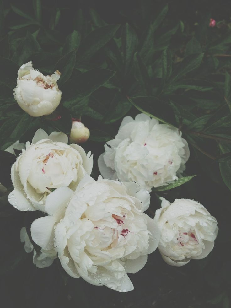 rhymesfordays:  Peonies  In my opinion, peonies are way better than roses. Instagram: openminddead