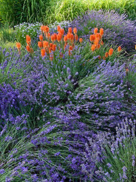 Lavandula Angustifolia, English lavender, Most fragrant lavender, Lavender Hidcote, Lavender Munstead, Lavender Rosea, Lavender Nana Alba, L...