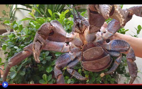 La stretta morsa del paguro lungo un metro Al termine della seconda guerra mondiale, le terre emerse di Tahiti costituivano ancora un luogo in larga parte incontaminato. Tralasciando i rottami di due navi francesi nel porto, affondate dalle c #animali #crostacei #granchi #pacifico