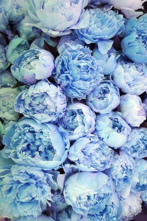 blue peonies ~ SO, SO PRETTY ~ we could dye them with food coloring any florist should know how to do it too if you would rather have them do it. I love these and blue hydrangea