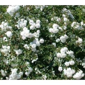 Elegant Rosa uSea Foam u Bodendeckerrosen uSea Foam u jetzt g nstig in Ihrem MEIN