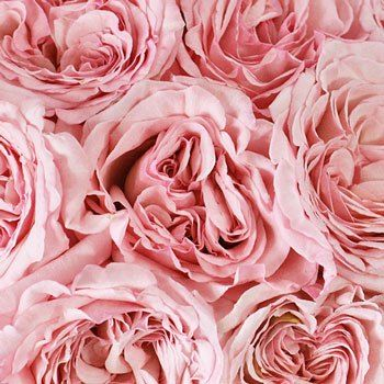 Valentine's Cherub Garden Roses - Give your special someone an exquisite treat with Valentine's Cherub Garden Roses. These large, bowl-shaped blooms have ruffled petals, which swirl in various directions to create soft, breathtaking texture. The petals are a shade of delicate, creamy pink, which conveys femininity and joy to your sweetheart. Use these blooms alone for dainty centerpieces, or pair with our Valentine's love pack rose special for added color and texture.
