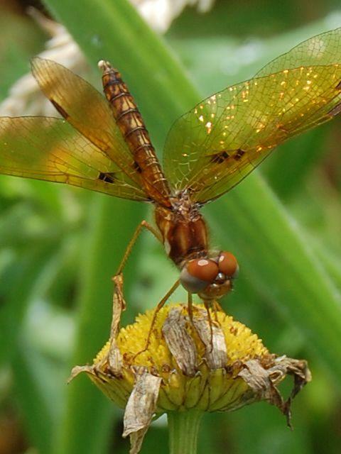 dragonfly.  photo taken 07-11-15 TK