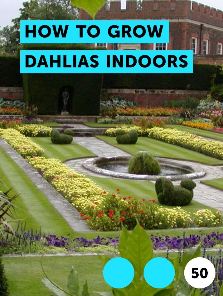How To Grow Dahlias Indoors Growing Dahlias Planting Vegetables