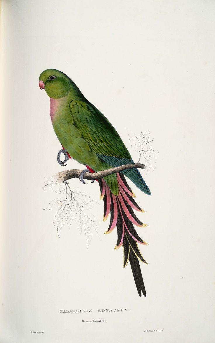 Edward Lear, Print from Natural History of Parrots, by Prideaux John Selby, Edinburgh, 1836.