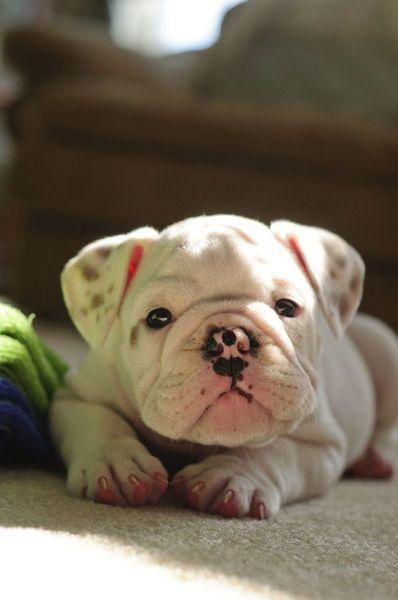 .: Kiss, Sweet, English Bulldogs Puppies, So Cute, Pet, Baby Bulldogs, Freckles, Animal, Bull Dogs
