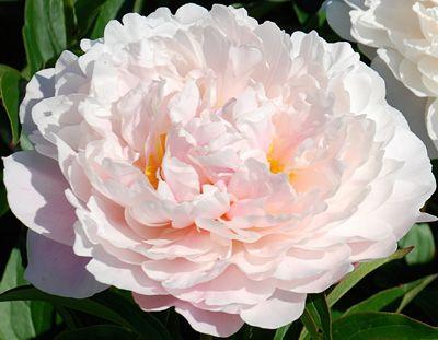 Klehm's Song Sparrow Farm and Nursery--PEONY--'Serene Pastel'