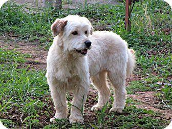 Toronto, ON - Goldendoodle Mix. Meet Scott a Dog for Adoption.