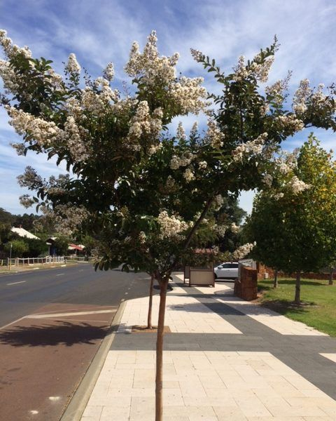 Lagerstroemia indica 'Townhouse' – (Crepe Myrtle) |
