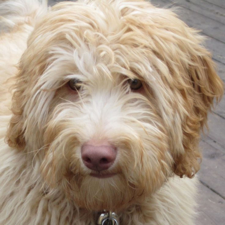 goldendoodle with shaved face | Blueberry Cottage Labradoodles – A Connecticut Labradoodle Breeder