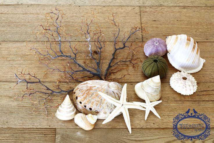 Shells, sea urchins, starfish, sea fan - beach accessories to compliment Tillandsia (Air Plant) terrariums. Follow us on Facebook.