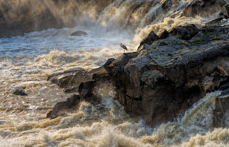 A great blue heron stands over a raging Potomac River in Great Falls Park…