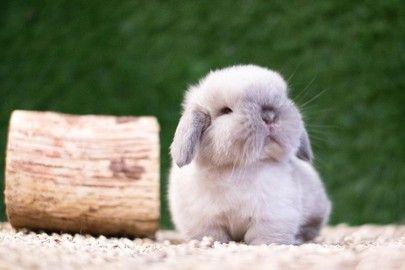 Conejo Belier miniatura <3