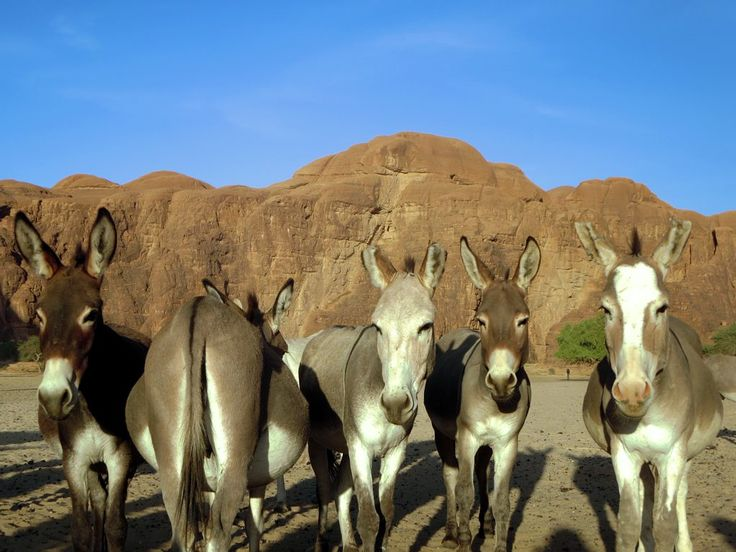 Donkeys pose for the camera in the Ennedi Mountains of northeastern Chad, Central Africa.