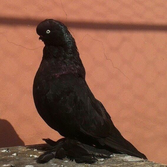Short face English Tumbler Pigeon