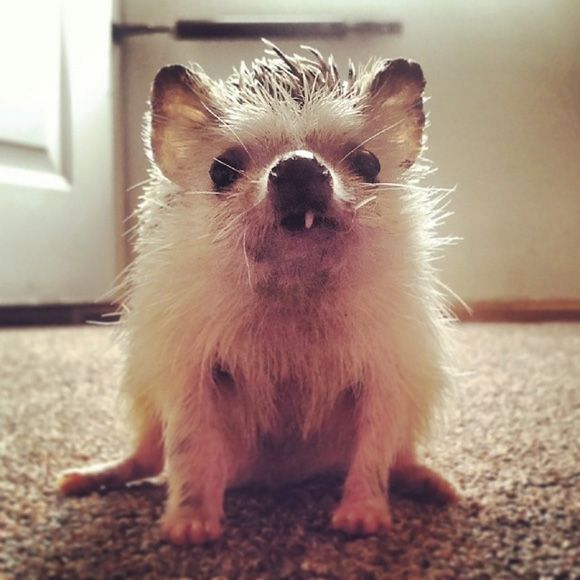 Norman the snaggletoothed hedgehog