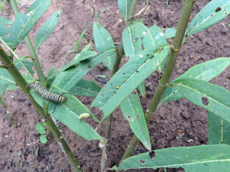 caterpillars eating Milkweed plant, Caterpillar eating
