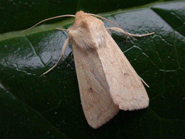 The Delicate, Mythimna vitellina - UK Moths ☆