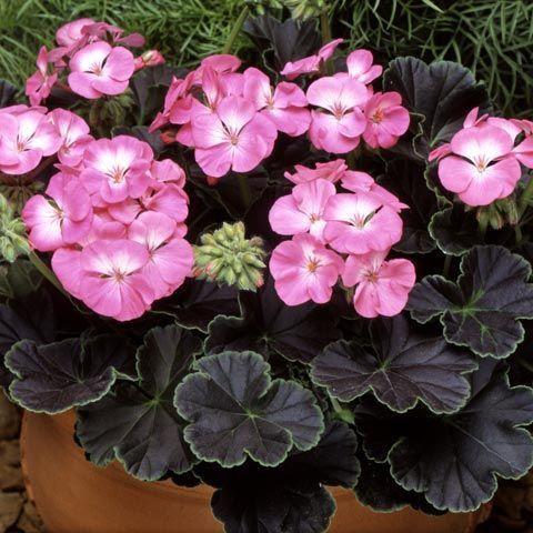 Geranium 'Black Magic Rose'