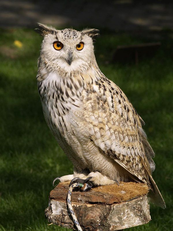 Eagle Owl Wallpaper Hd For Android Apk Download Lechuzas