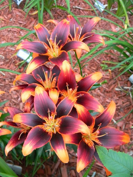 """Lily 'Starlette', a perennial, attracts RUBY THROATED HUMMINGBIRDS and BEES. Great for borders for naturalizing, beautiful in front of your house. Bulb/Tuber Size: 14 cm - 16 cm, Color: Red Blooms with Orange Heart and Tips, Planting Season: Spring, Bloom Season: Early to Mid Summer, Height at Maturity:3ft - 4ft, Planting Depth:6"""" Deep, Light Requirement:Sun / Partial Shade. Found on: http://allthingsplants.com/plants/photo/27275/"""