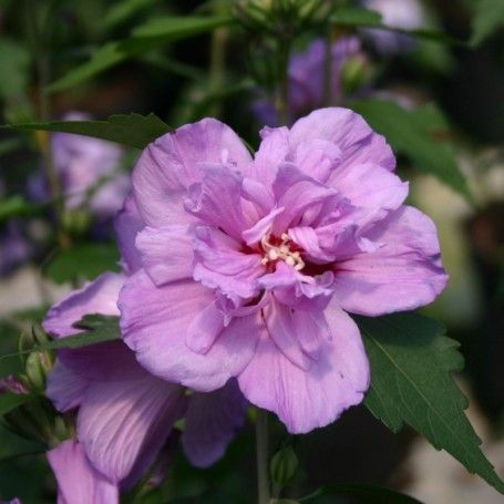 Hibiscus syriacus Ardens - RoyalPlant.ro